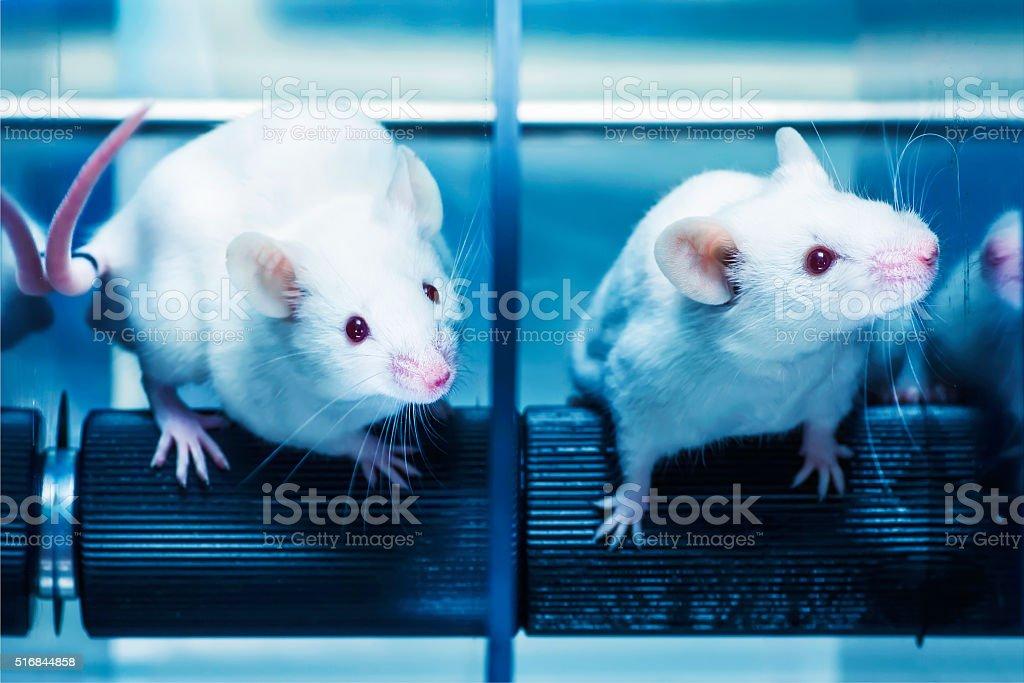Mice in the rotarod test stock photo
