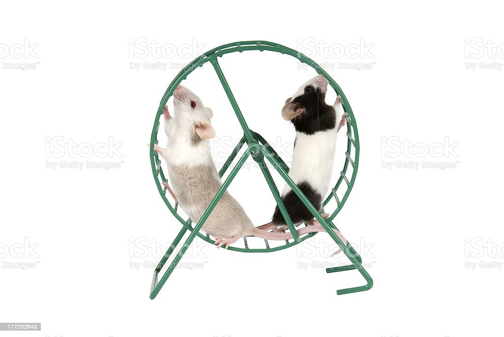 Mice running in exercise wheel on a white background stock photo