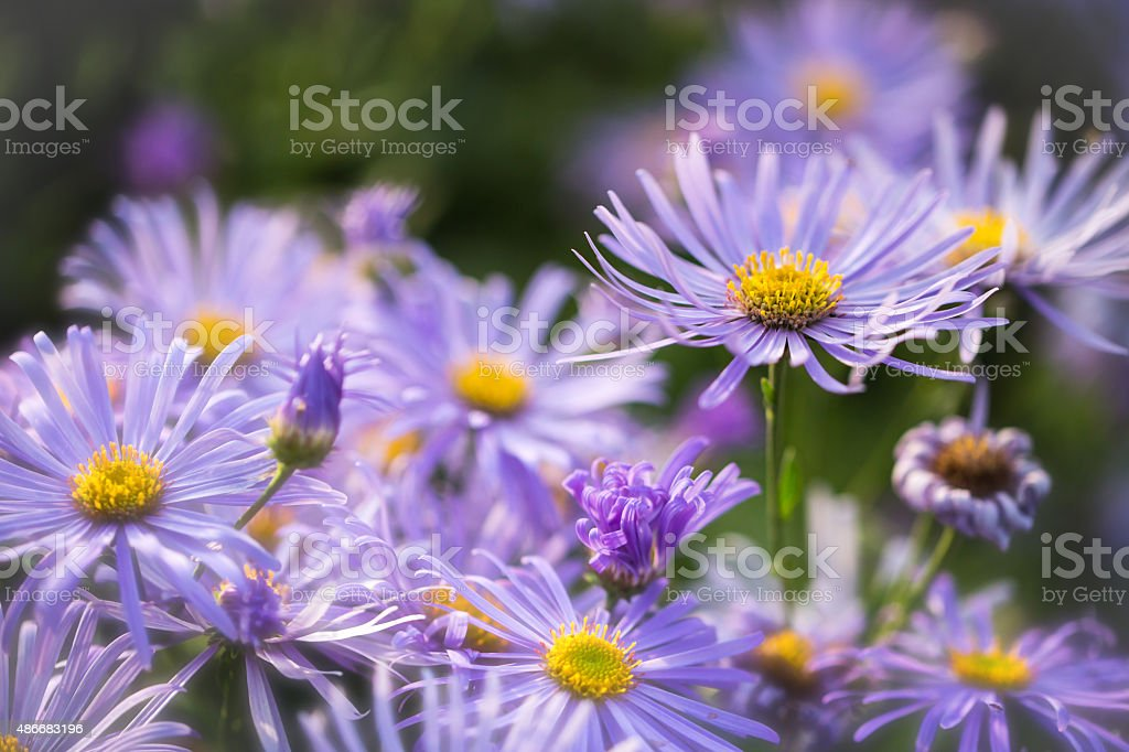 Michaelmas Daisies stock photo