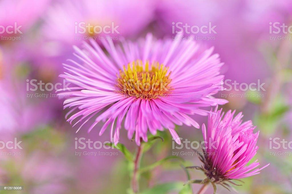 Michaelmas daisy flower - close up. stock photo