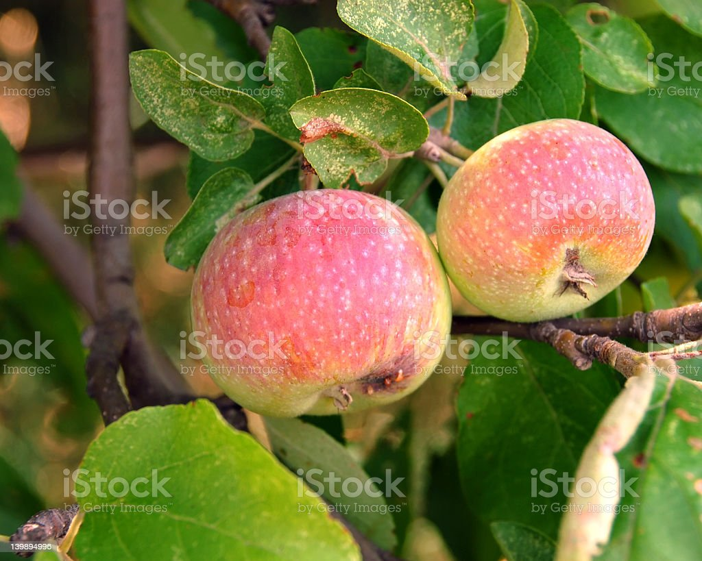 Michigan Apple Tree stock photo