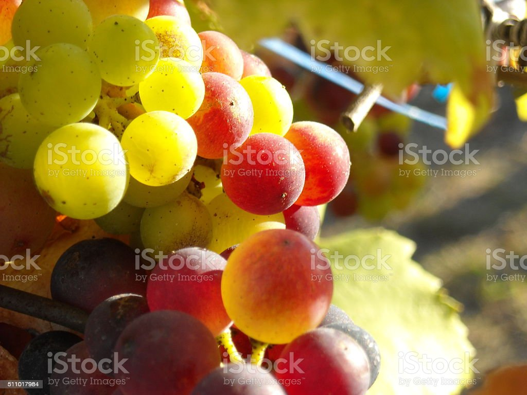 Michigan Grapes stock photo