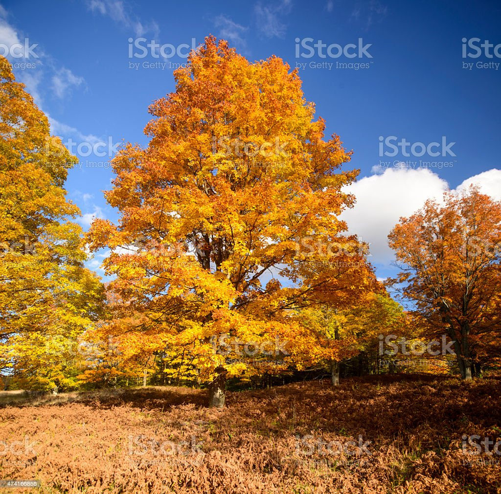 MIchigan Maple - Peak Fall Colors stock photo