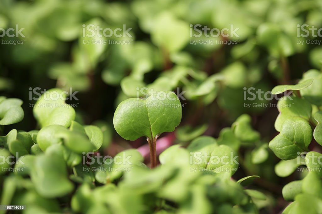 Micro Greens stock photo