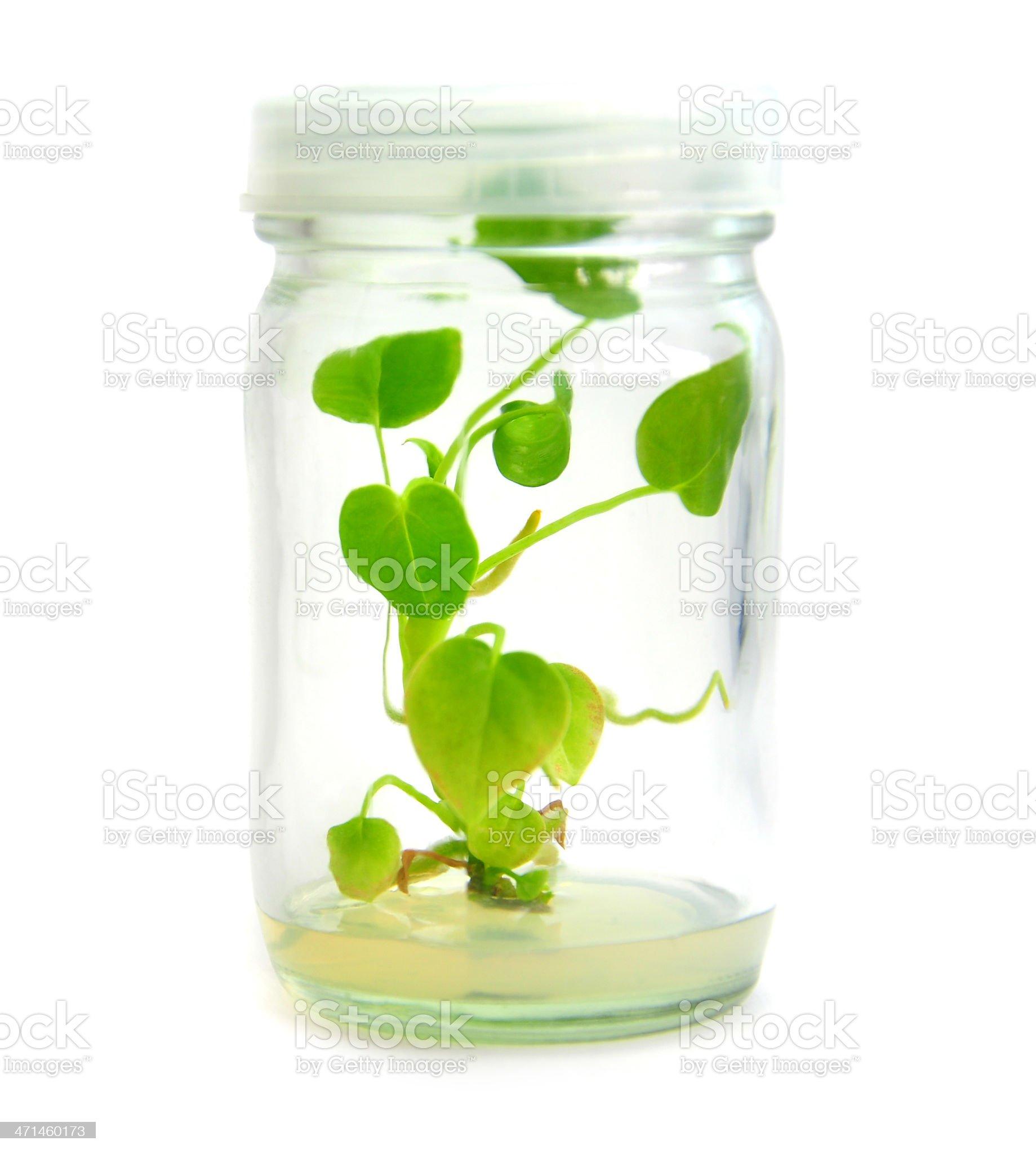 Micro propagated plant royalty-free stock photo