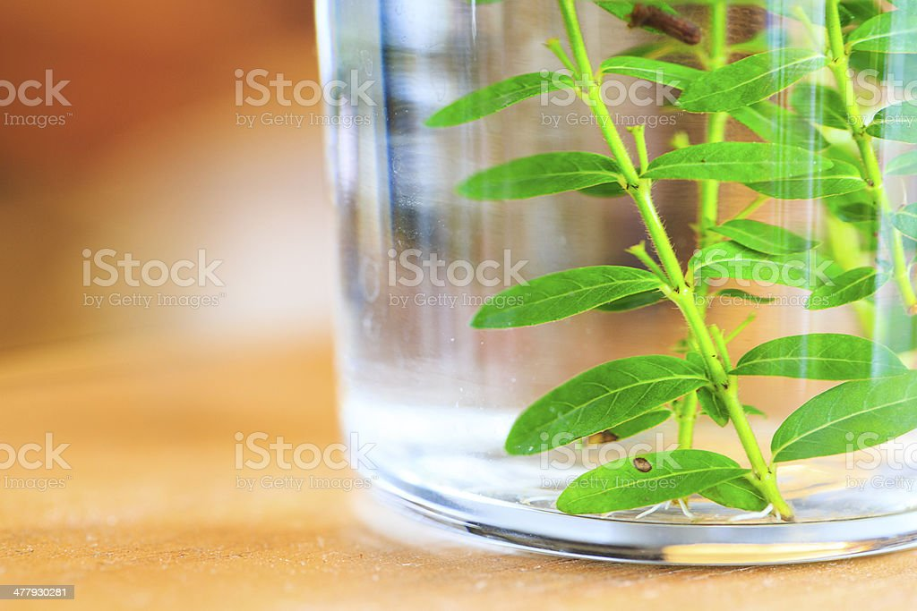 Micro propagated plant royalty-free stock photo