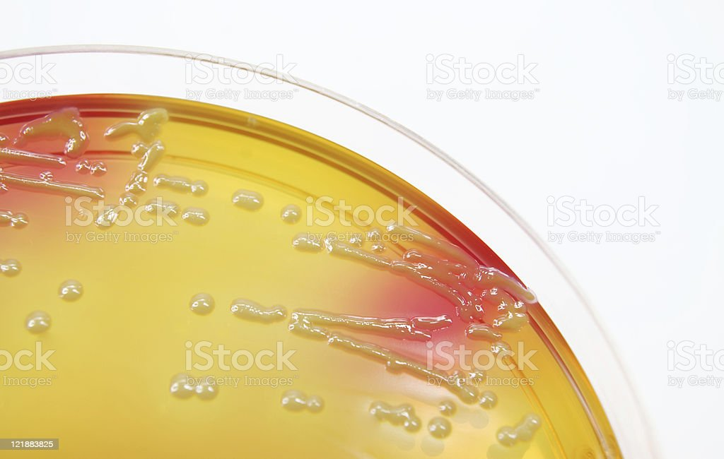 Microbiology: A bacterial culture royalty-free stock photo