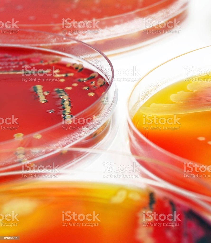 Microbiology: colourful bacterial cultures royalty-free stock photo