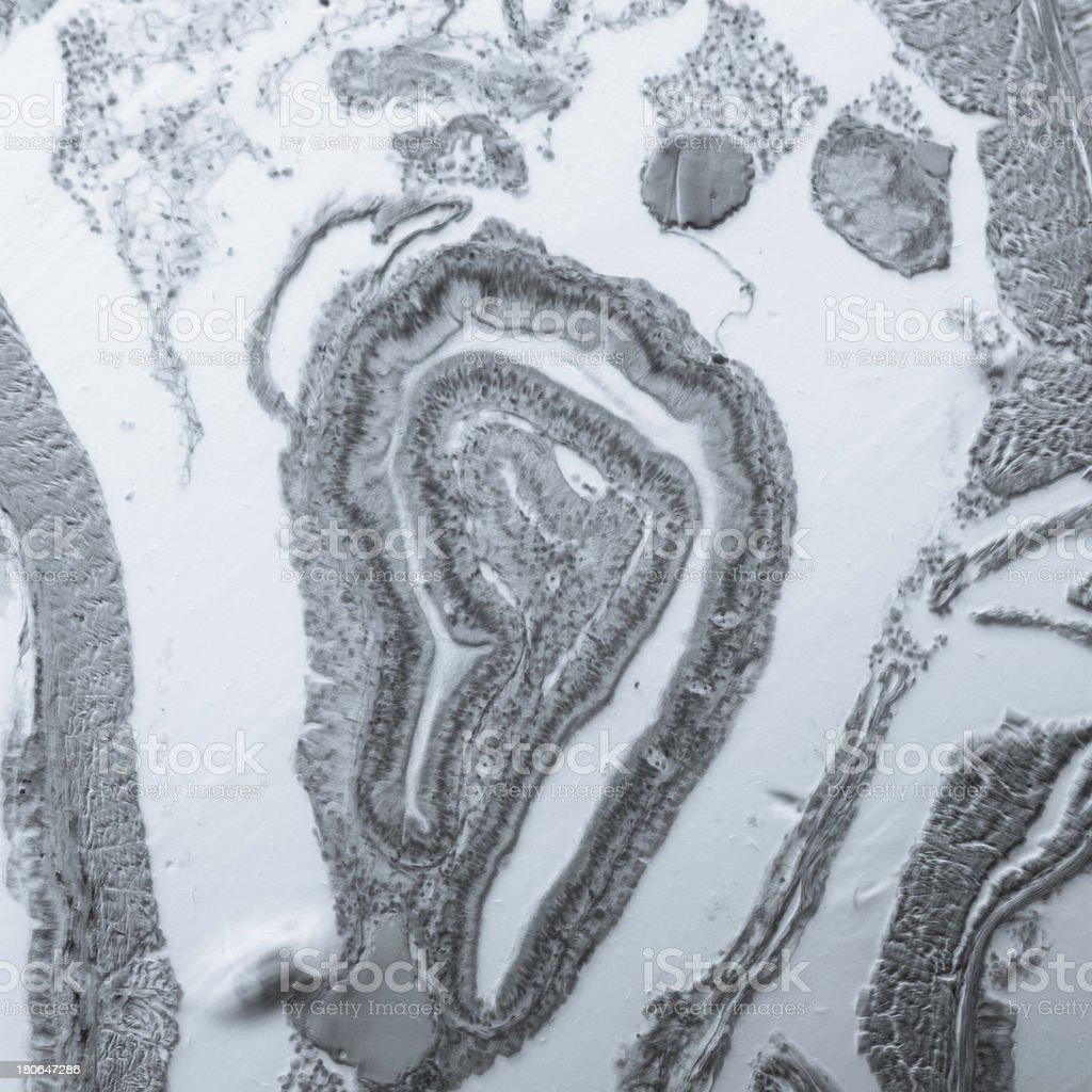 micrograph earthworm crosscutting stock photo