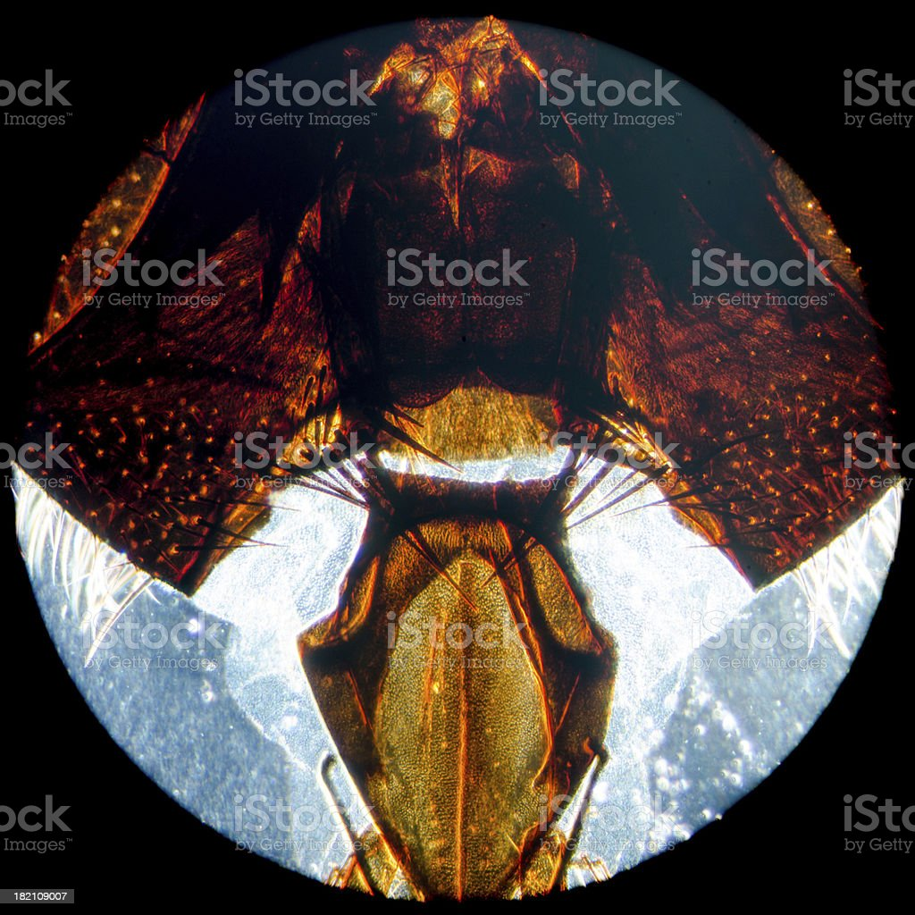 micrograph insect fly head royalty-free stock photo