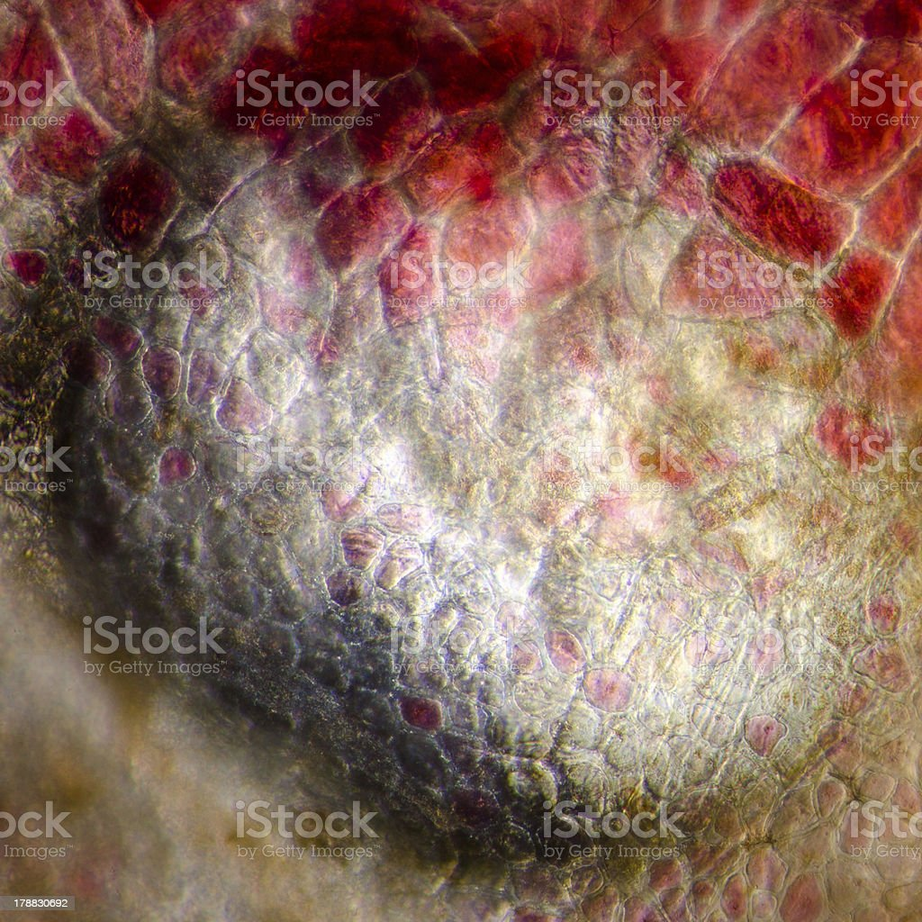 micrograph red cherry fruit peel cell stock photo