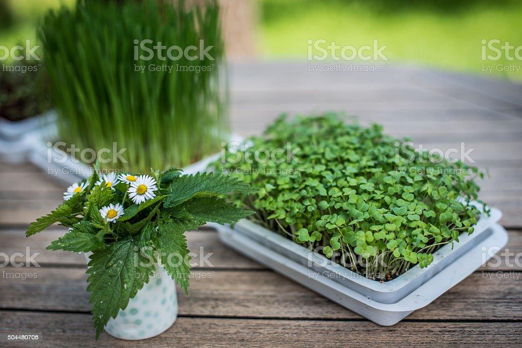 Microgreen vegetables stock photo