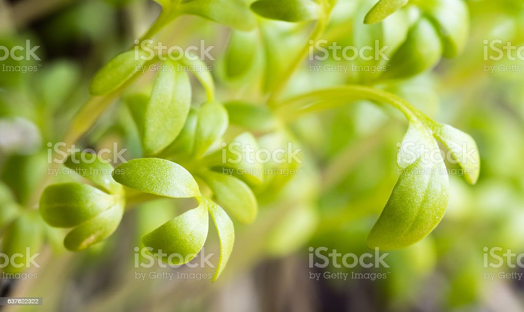 Microgreens garden cress stock photo