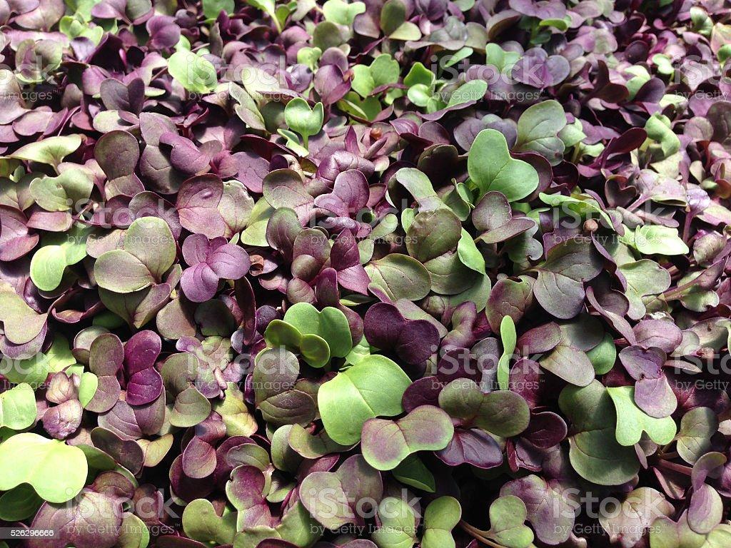 Microgreens - radish close up stock photo