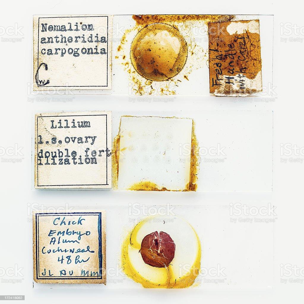 microscope slides royalty-free stock photo