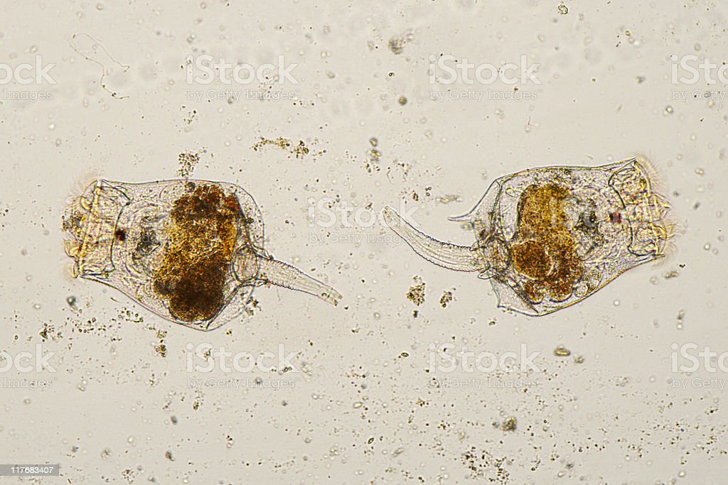 Microscopic image of Rotifers. stock photo
