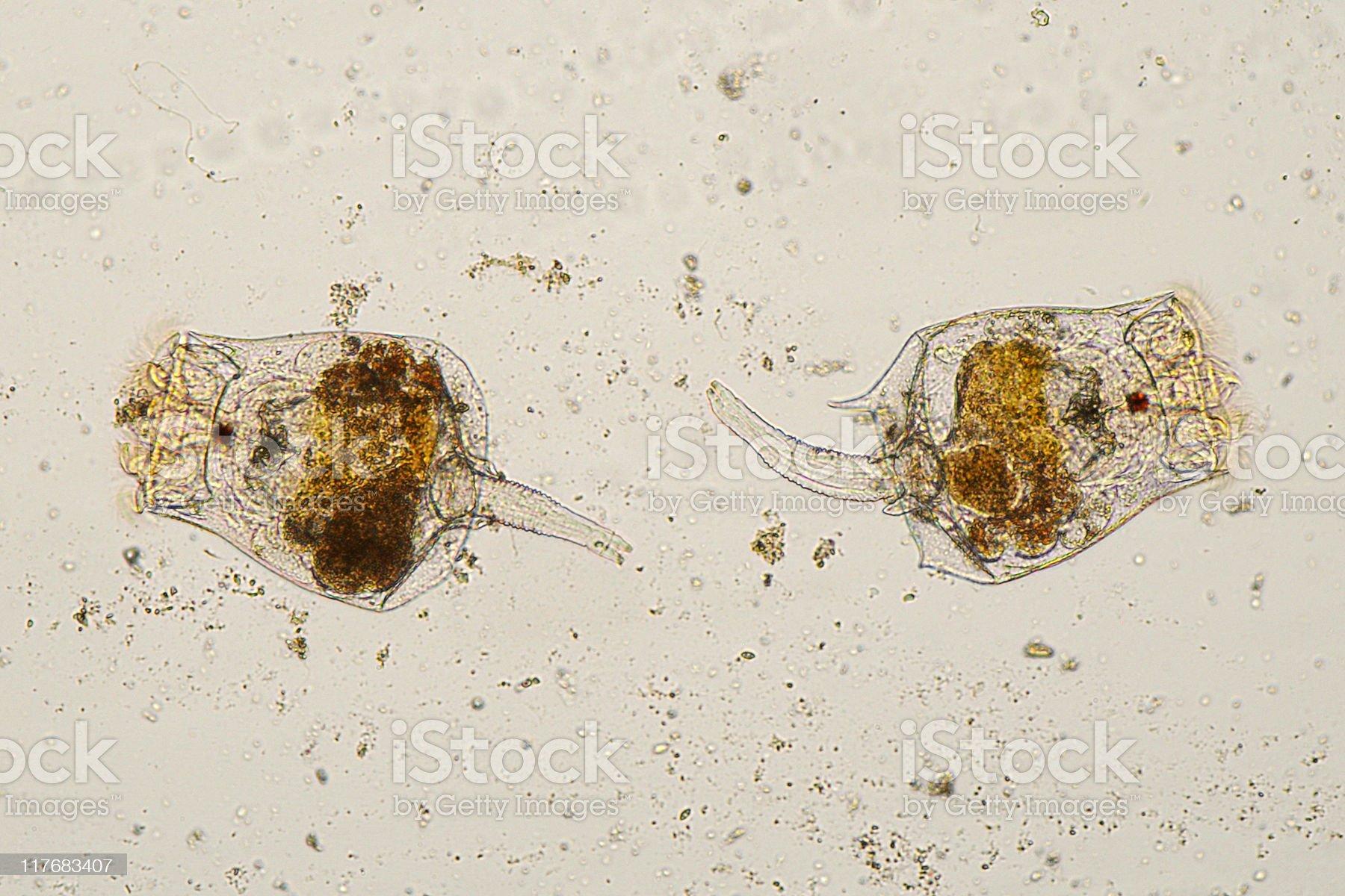 Microscopic image of Rotifers. royalty-free stock photo