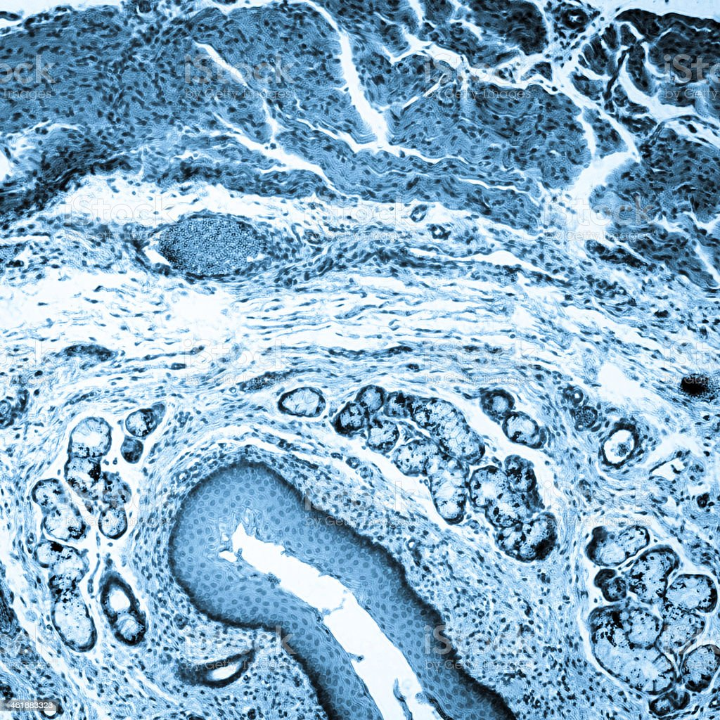 Microscopic image of stratified squamous epithelium stock photo