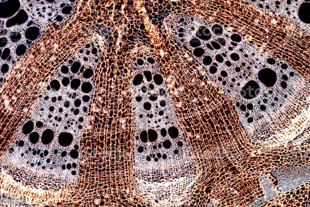 Microscopic Image: stem cross section royalty-free stock photo