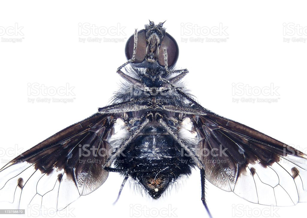 microscopic micrograph of insect tiny fly royalty-free stock photo