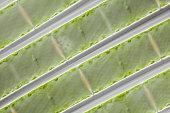 microscopic organism green algea Spirogyra