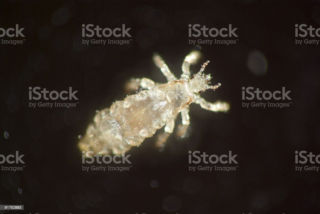 Microscopic photo of head lice stock photo