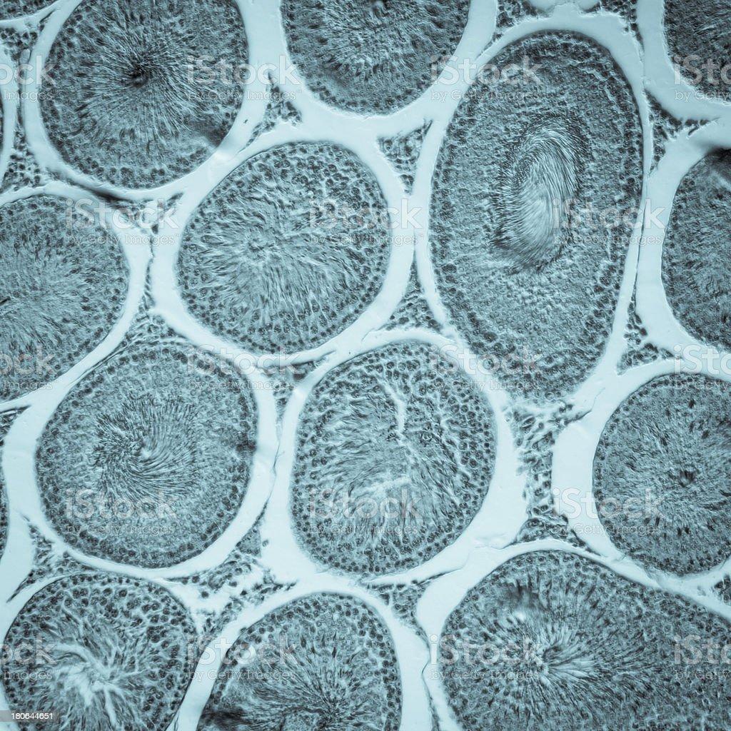 microscopic section of Testis T.S tissue stock photo