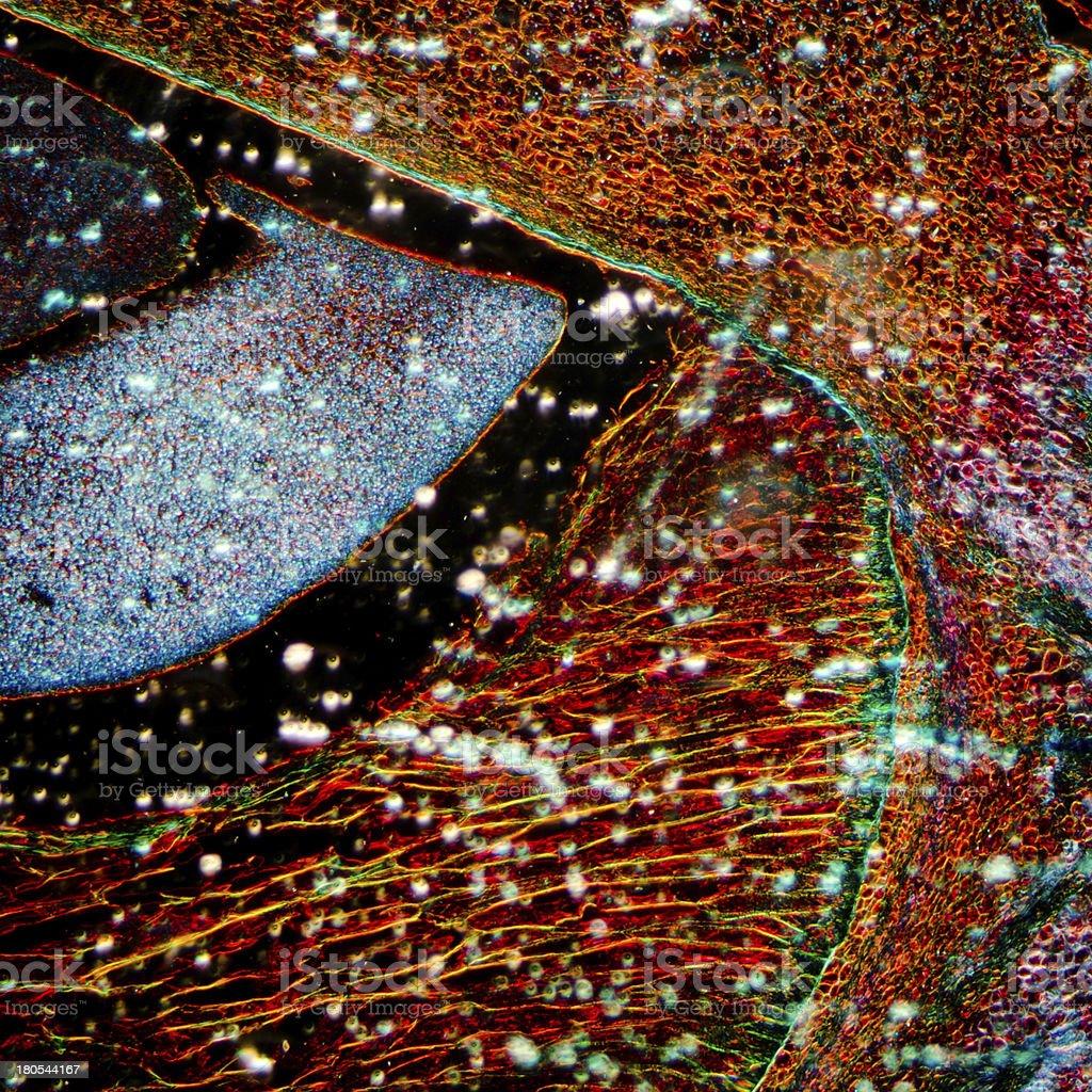 microscopy  corn embryo royalty-free stock photo
