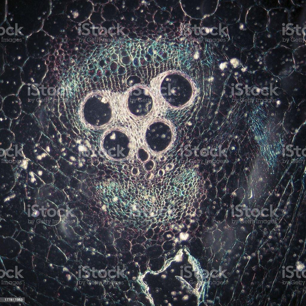 microscopy micrograph plant tissue, stem of pumpkin royalty-free stock photo