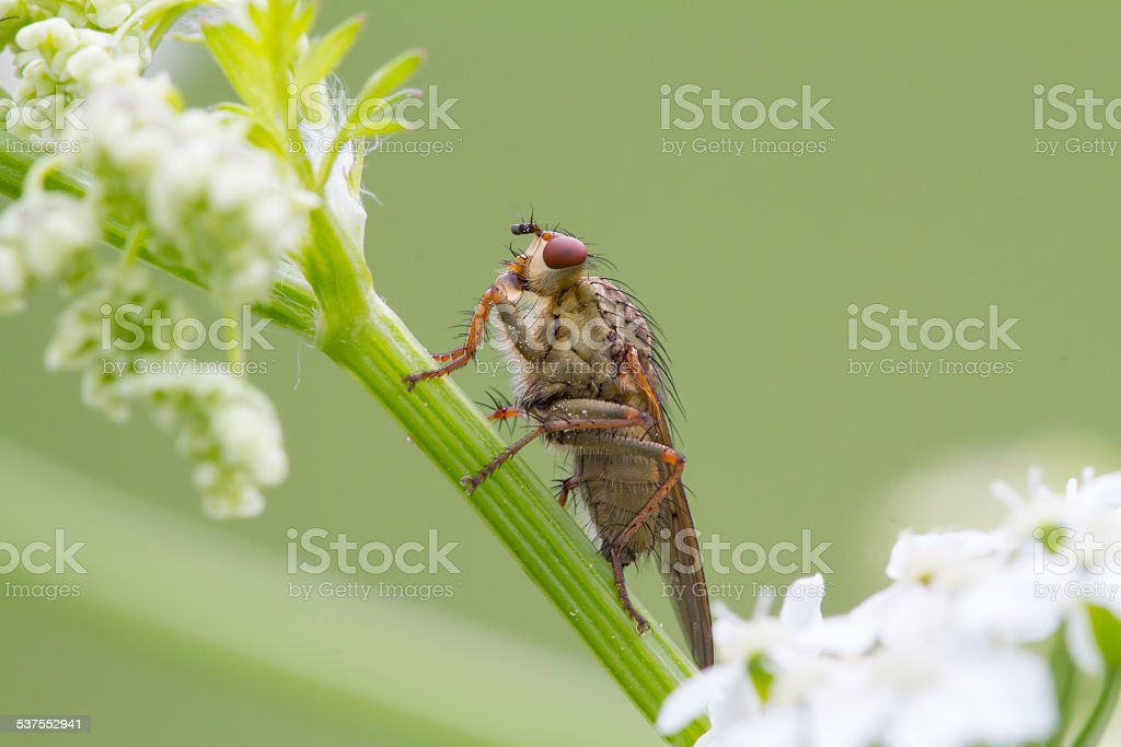 Microworld - Drinking fly stock photo