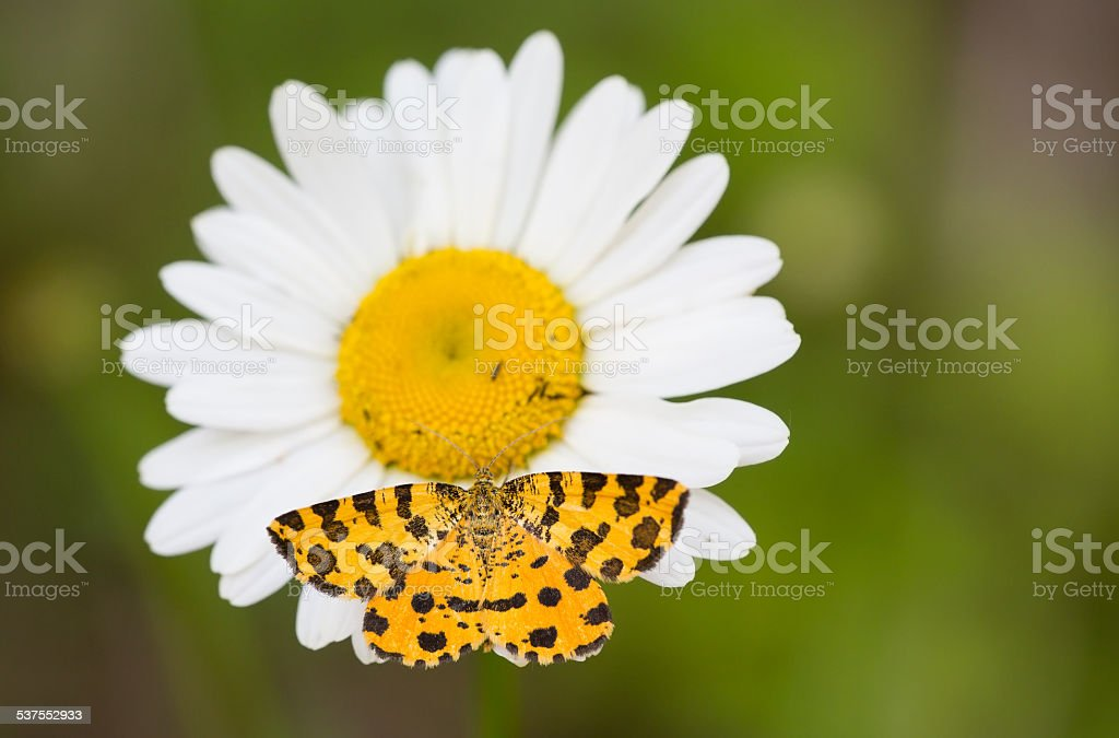 Microworld - The butterfly and the daisy stock photo