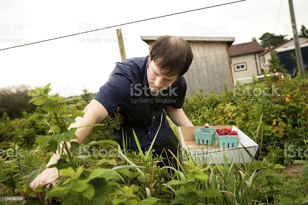 Mid Adult Man Picking Raspberries Outdoors on Summer Day royalty-free stock photo