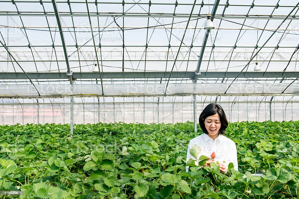 Mid adult woman farmer picking strawberries in a greenhouse stock photo