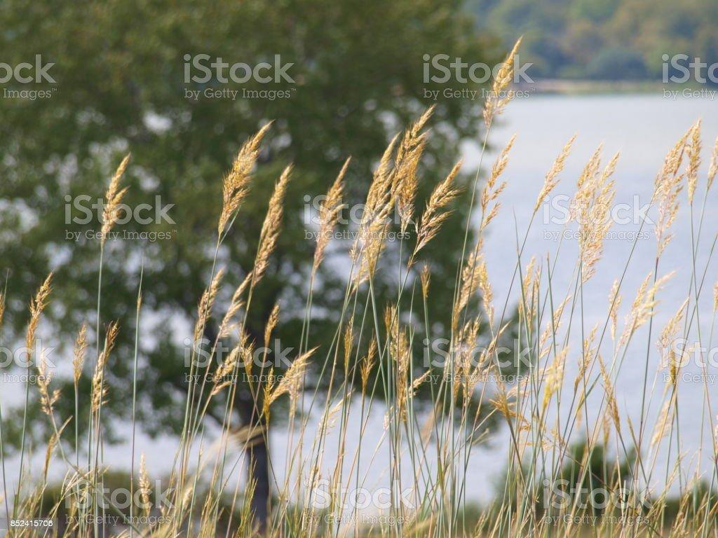 Mid High Native Prairie Grass Seeding stock photo