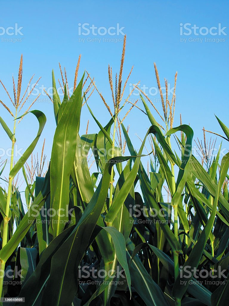 Middle of a Cornfield on a Summer's day royalty-free stock photo