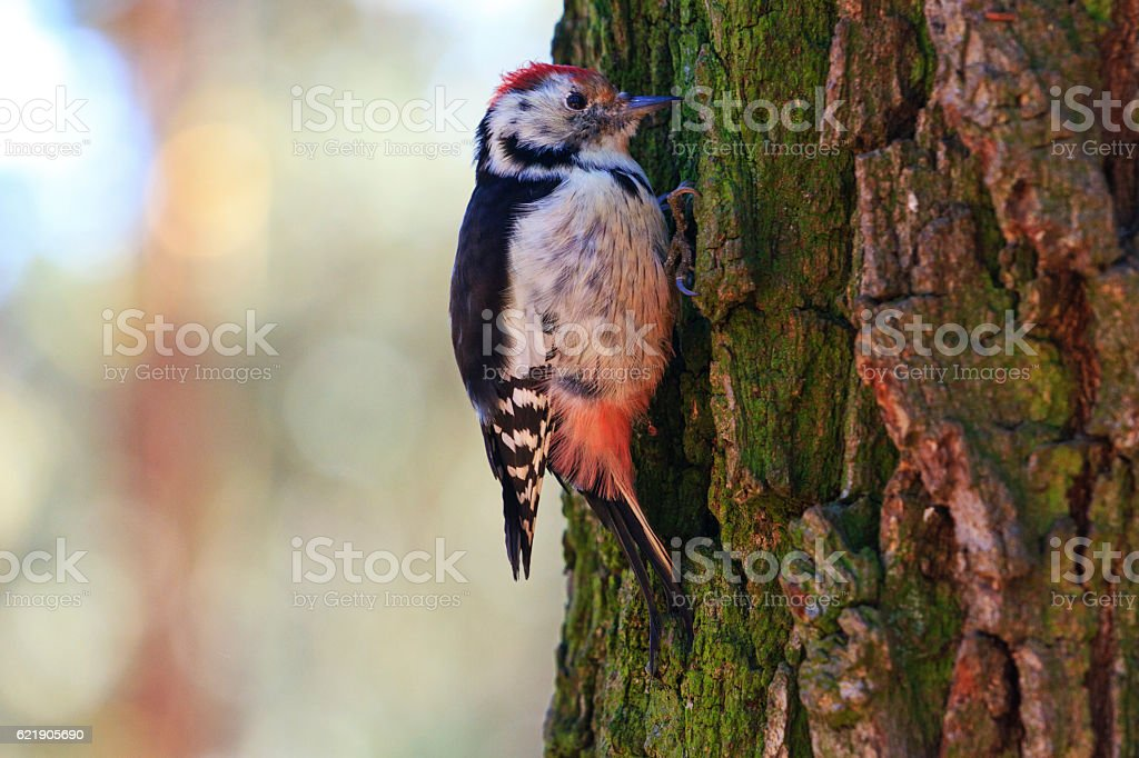 Middle spotted woodpecker on the trunk of an oak stock photo