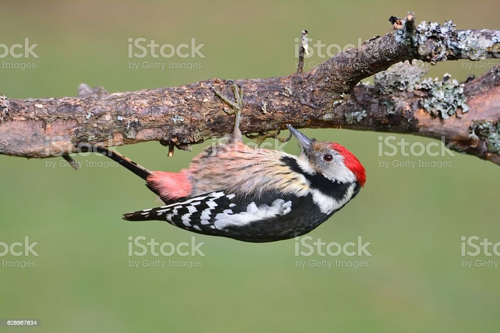 Middle spotted woodpecker perched. stock photo