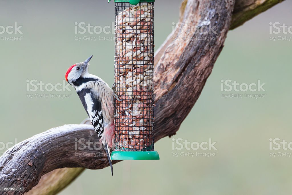 middle-spotted woodpecker stock photo