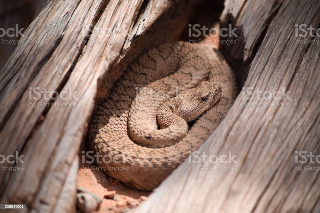 Midget Faded Rattlesnake in the wilds, Colorado stock photo
