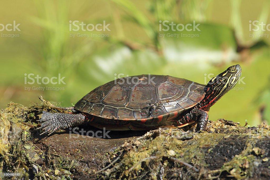 Midland Painted Turtle Basking on a Log stock photo