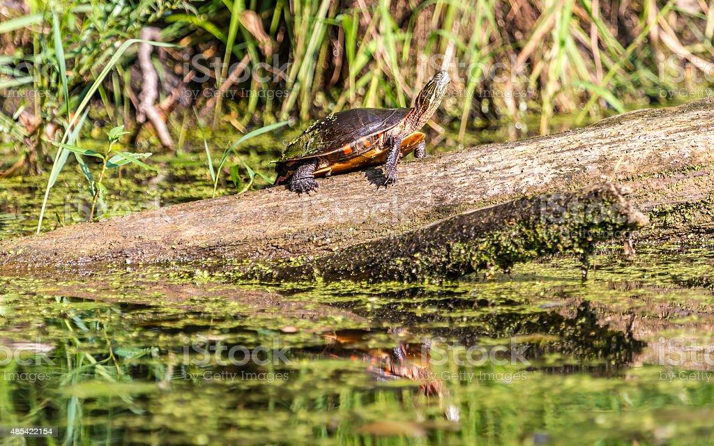 Midland Painted Turtle stock photo