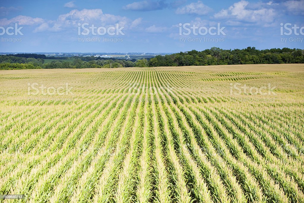 Mid-Summer Corn Field from Above stock photo