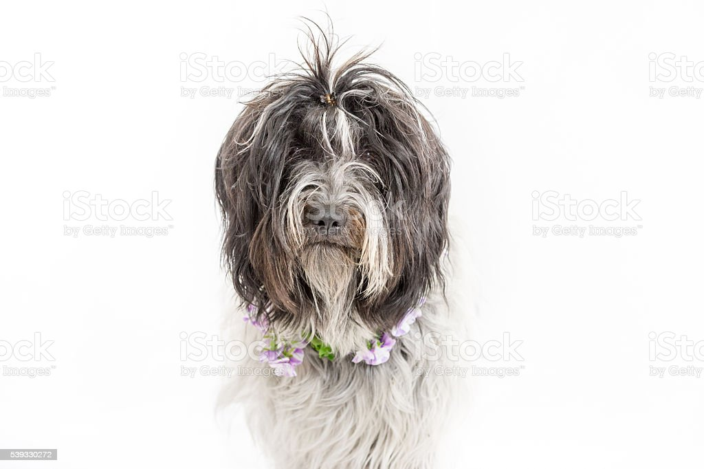 Midsummer dog with pansy collar stock photo