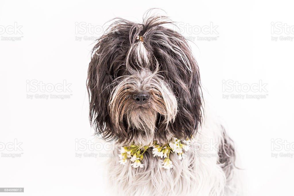 Midsummer dog with wildflower collar stock photo