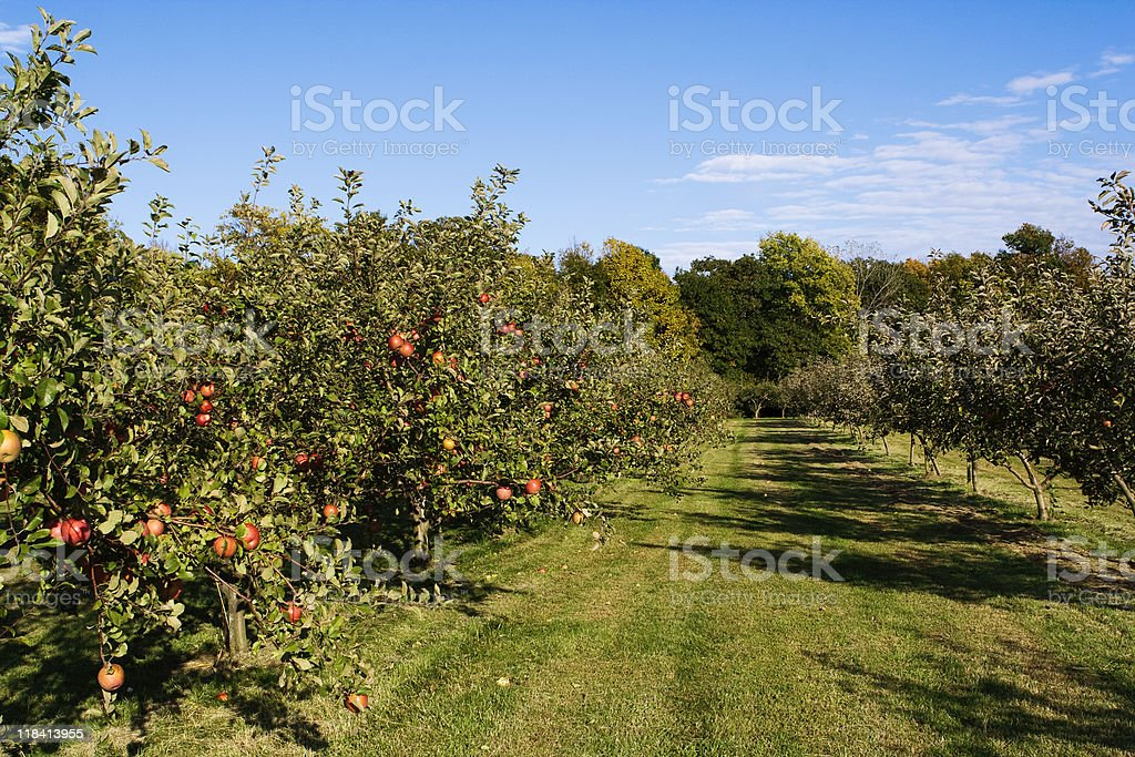 Midwest Apple Orchard stock photo