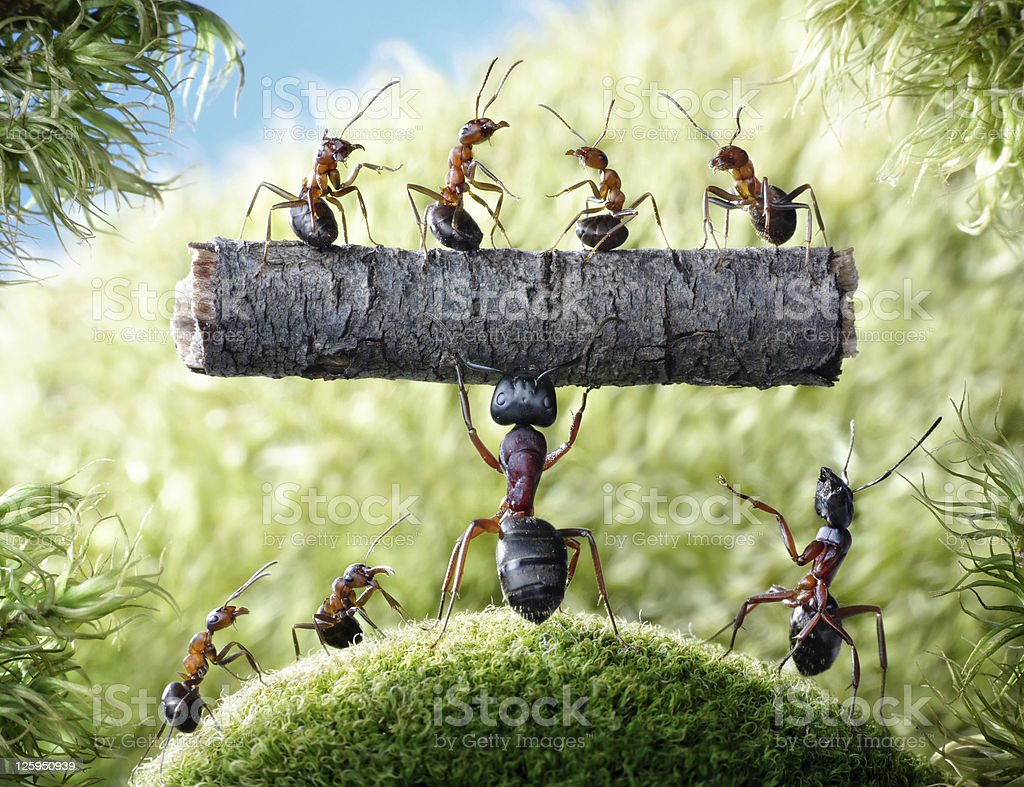 mighty ant Camponotus Herculeanus stock photo