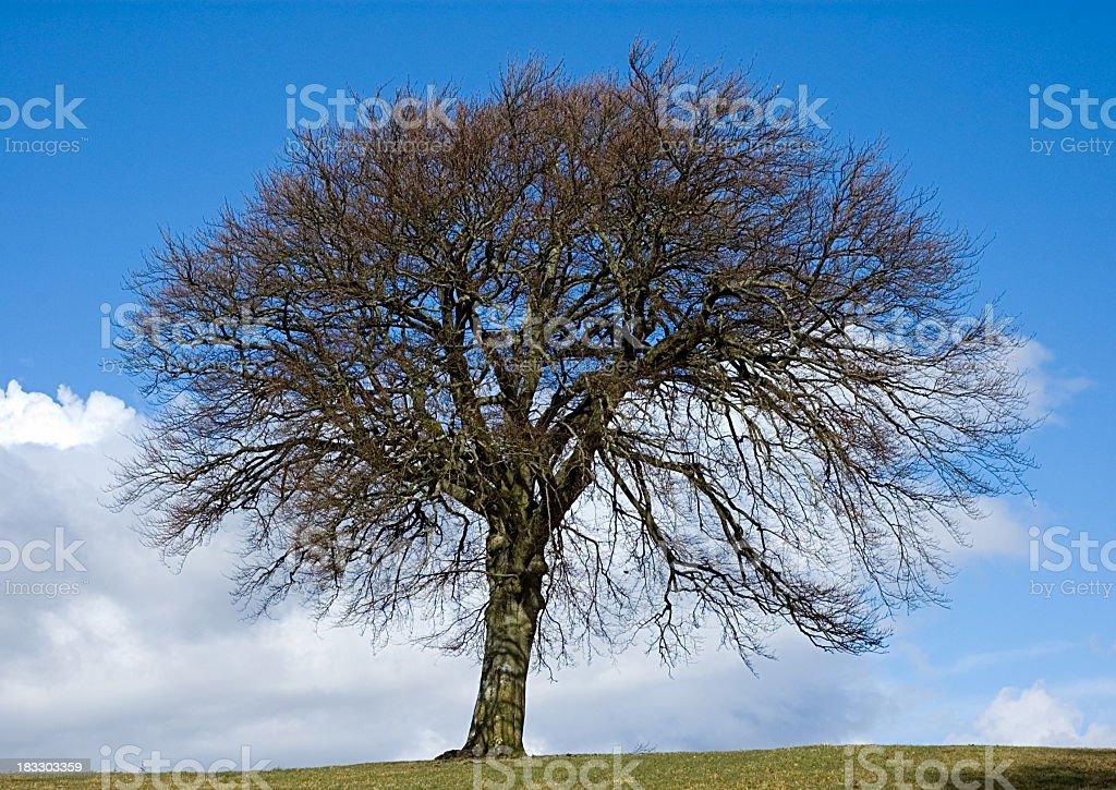 Mighty Beech Tree royalty-free stock photo