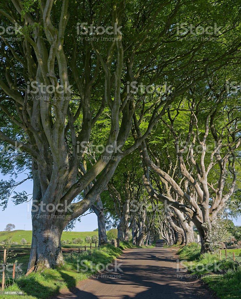 Mighty beech trees 'Dark Hedges' in Northern Ireland stock photo