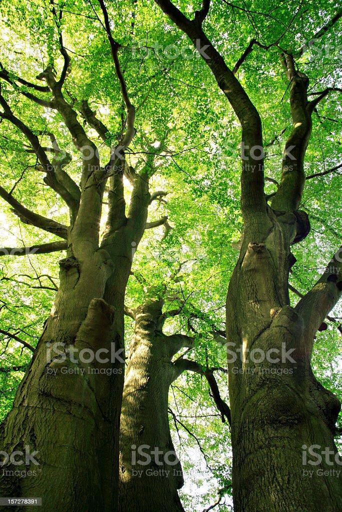 Mighty Beech Trees stock photo
