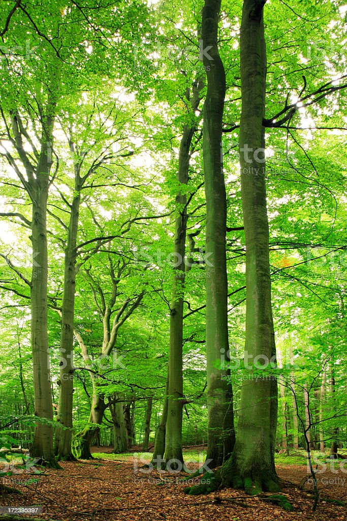 Mighty Beech Trees royalty-free stock photo